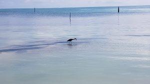 Wading bird at Caye Caulker, Belize
