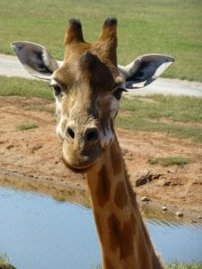 up close with a giraffe at Monarto Zoo, Adelaide