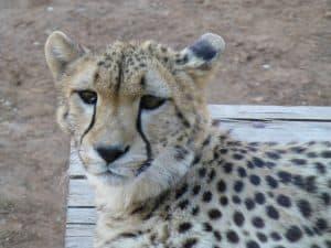 Hand reared Cheetah Kwatile at Monarto Zoo, Adelaide