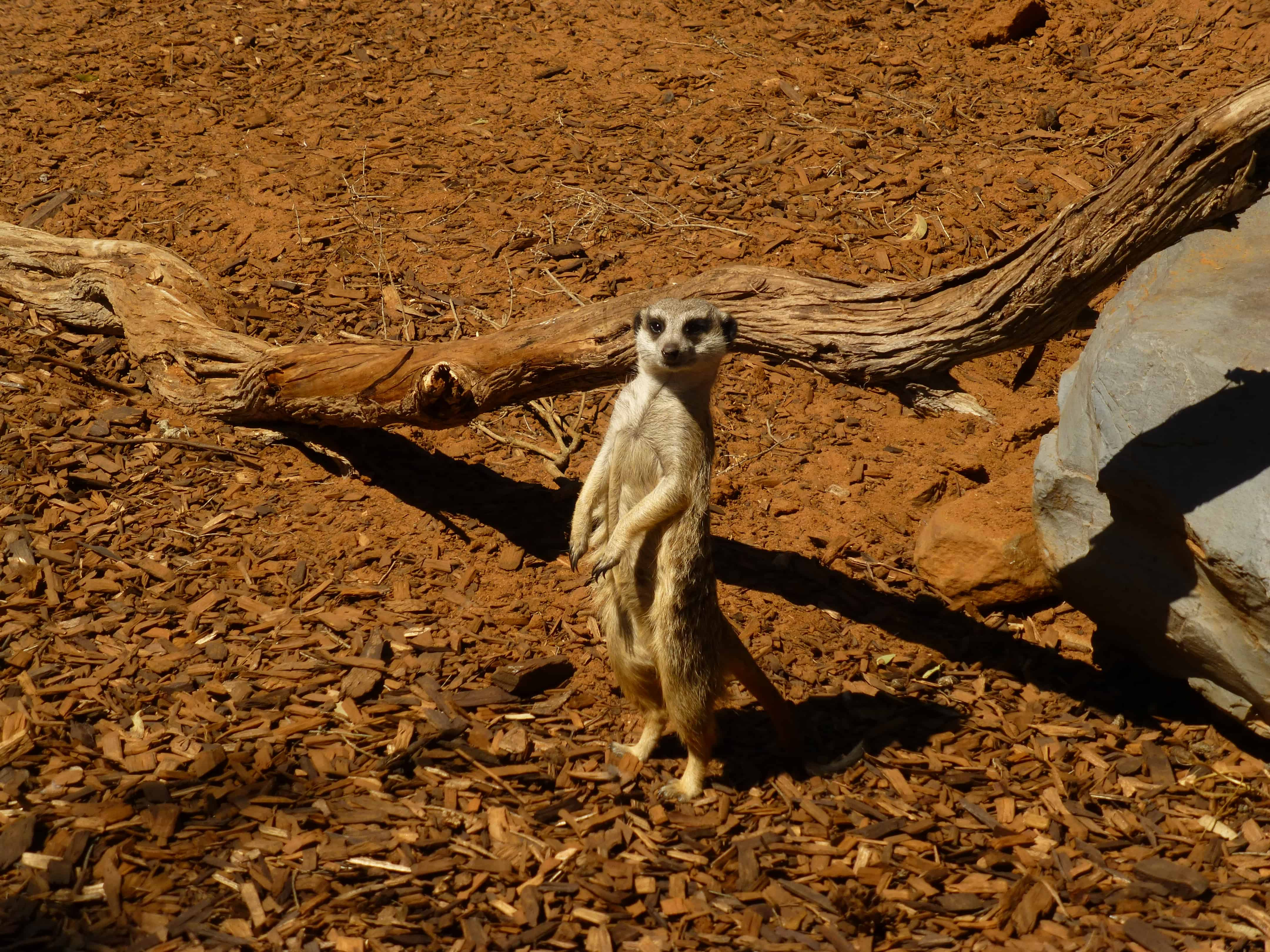 Monarto Zoo Meerkat in watchful stance