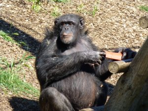 Adult Chimpanzee playing in sun at Monarto Zoo