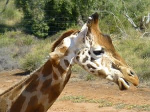 Kinky the Giraffe, named for the kink in her neck, at Monarto Zoo