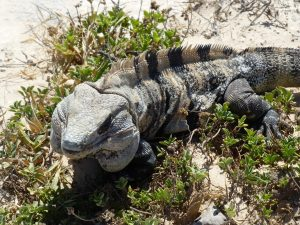 Iguana at the ruins of Tulum